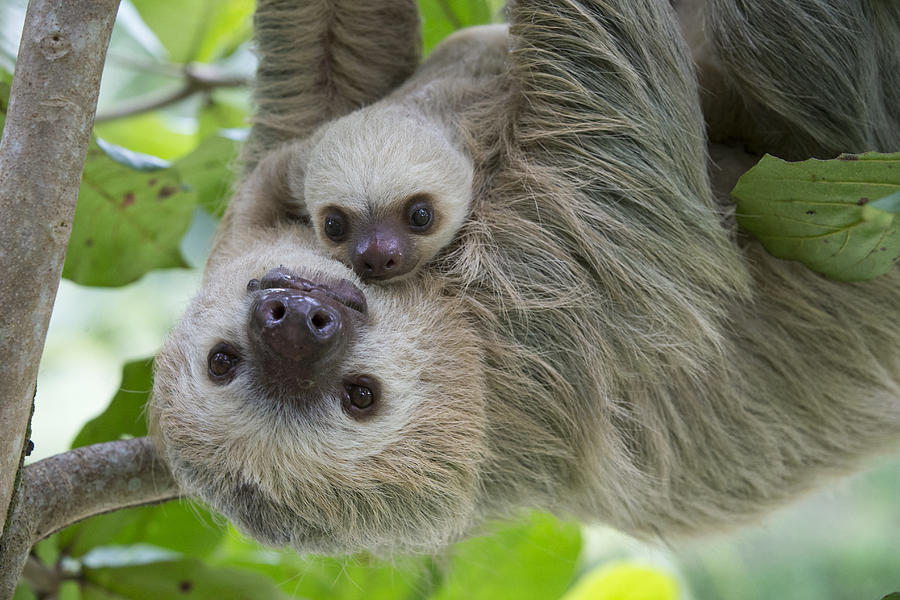 baby two toed sloth - photo #21