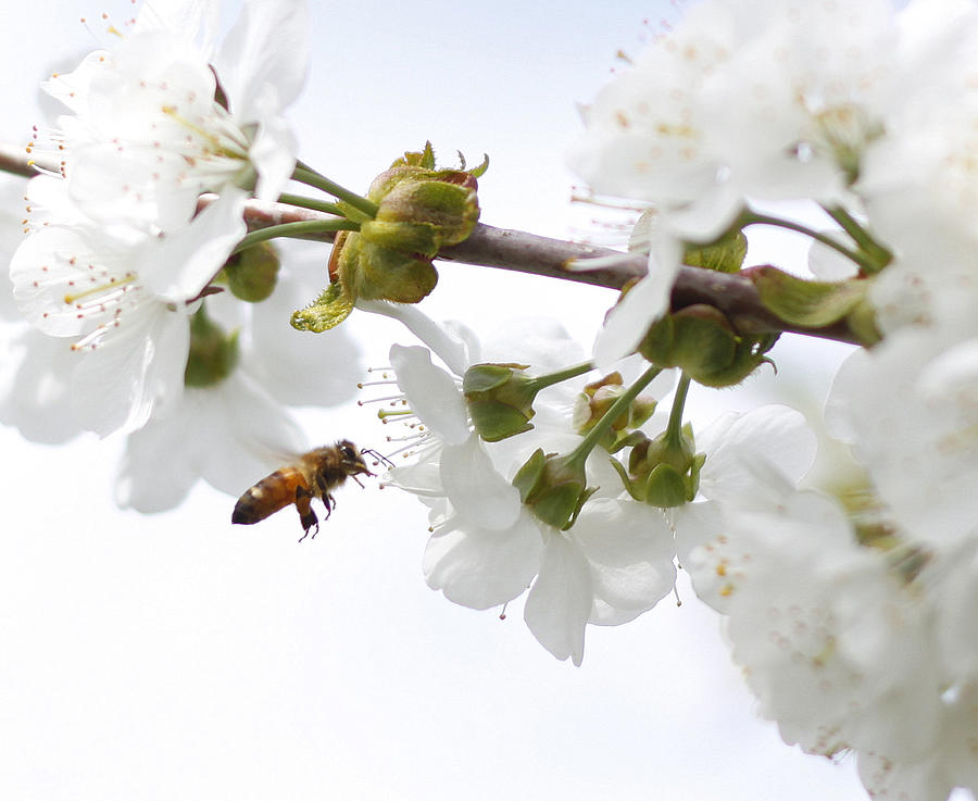 Honey Bee Photograph by Photos By By Deb Alperin