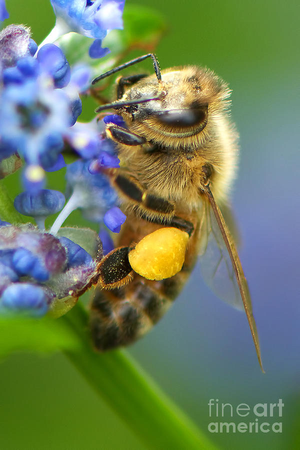Honeybee Photograph - Honeybee On California Lilac by Sharon Talson