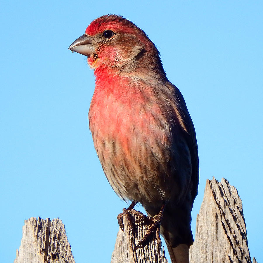 House Photograph - House Finch by David G Paul