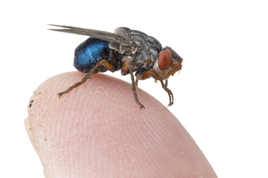 Piotr Naskrecki Photograph - Human Botfly Belize by Piotr Naskrecki