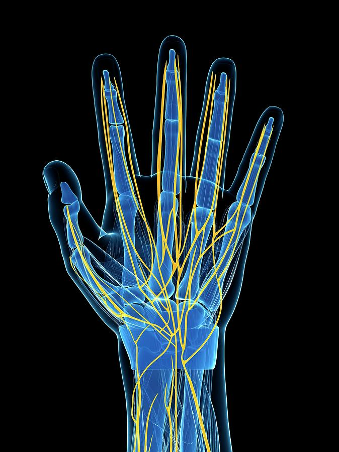 Artwork Photograph - Human Hand Nerves by Sebastian Kaulitzki