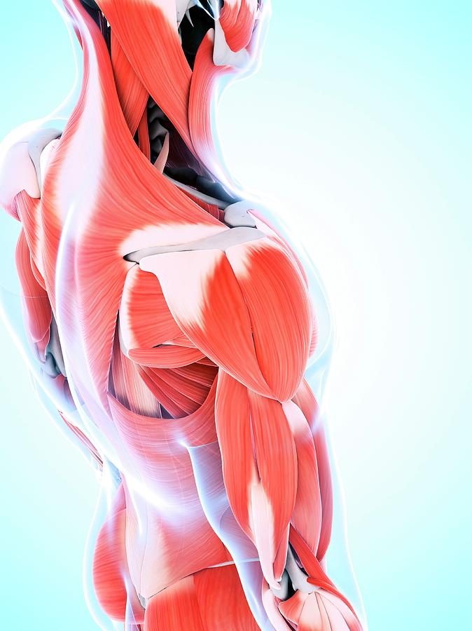 3 Dimensional Photograph - Human Muscular System Of The Shoulder by Sebastian Kaulitzki