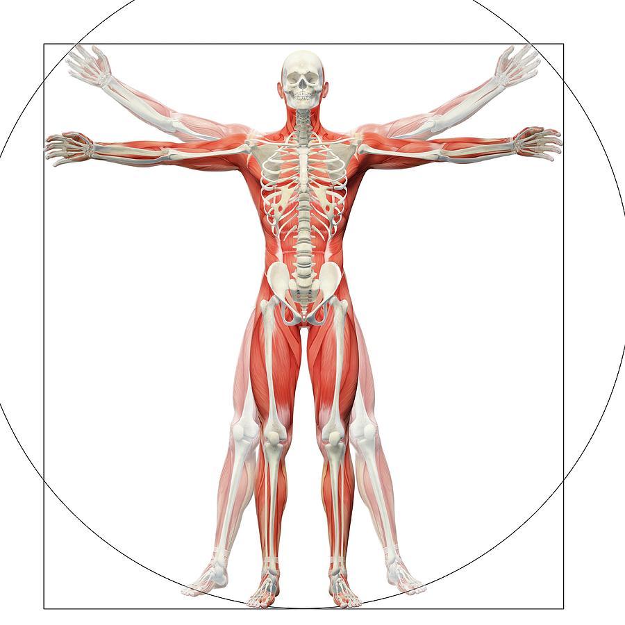 artwork photograph human musculoskeletal system by andrzej wojcicki