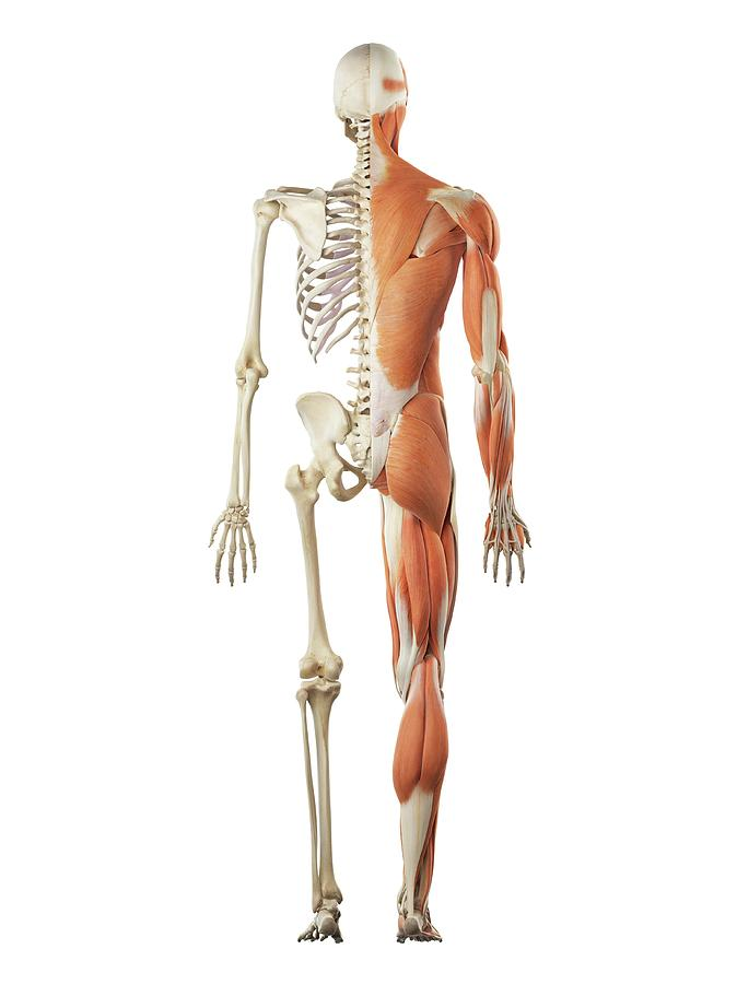 human musculoskeletal system photograph by sciepro