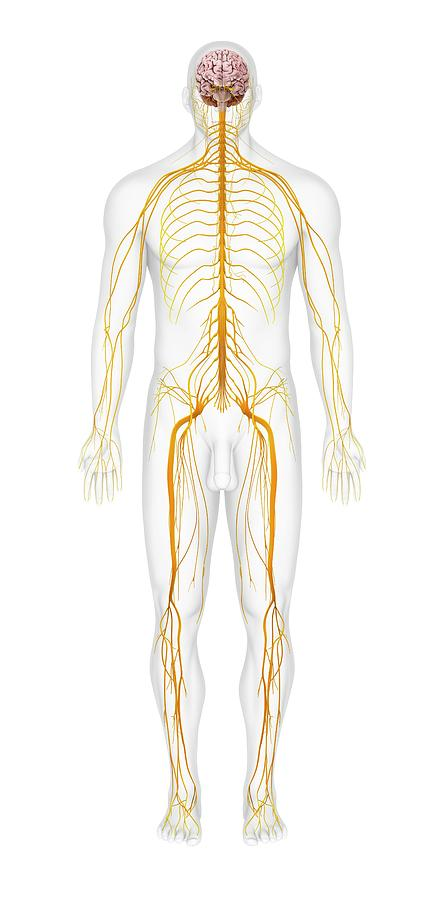 Human Nervous System Photograph By Medi Mationscience Photo Library