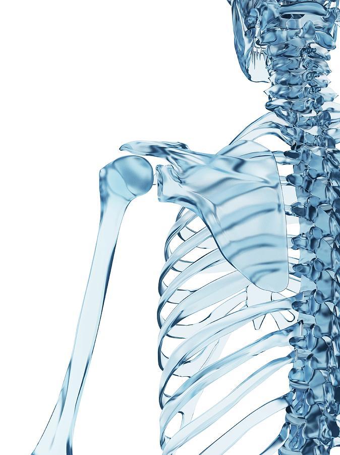 Human Shoulder Bones Photograph By Sebastian Kaulitzki