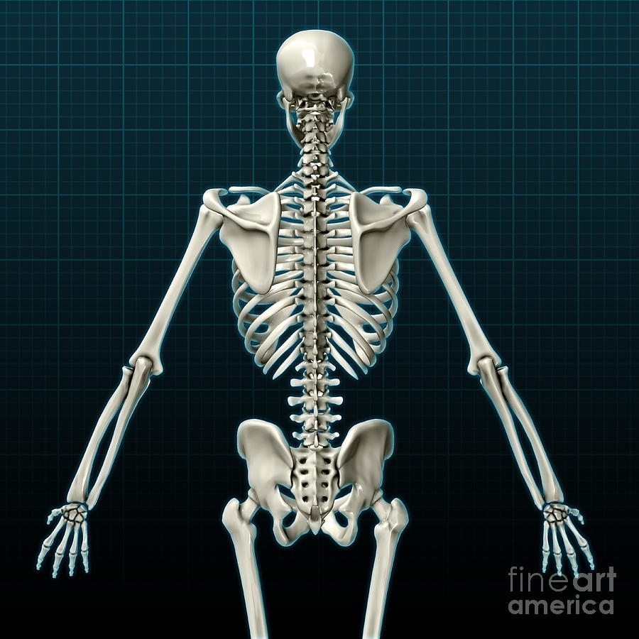 Human skeleton posterior view photograph by evan oto science photograph human skeleton posterior view by evan oto ccuart Image collections