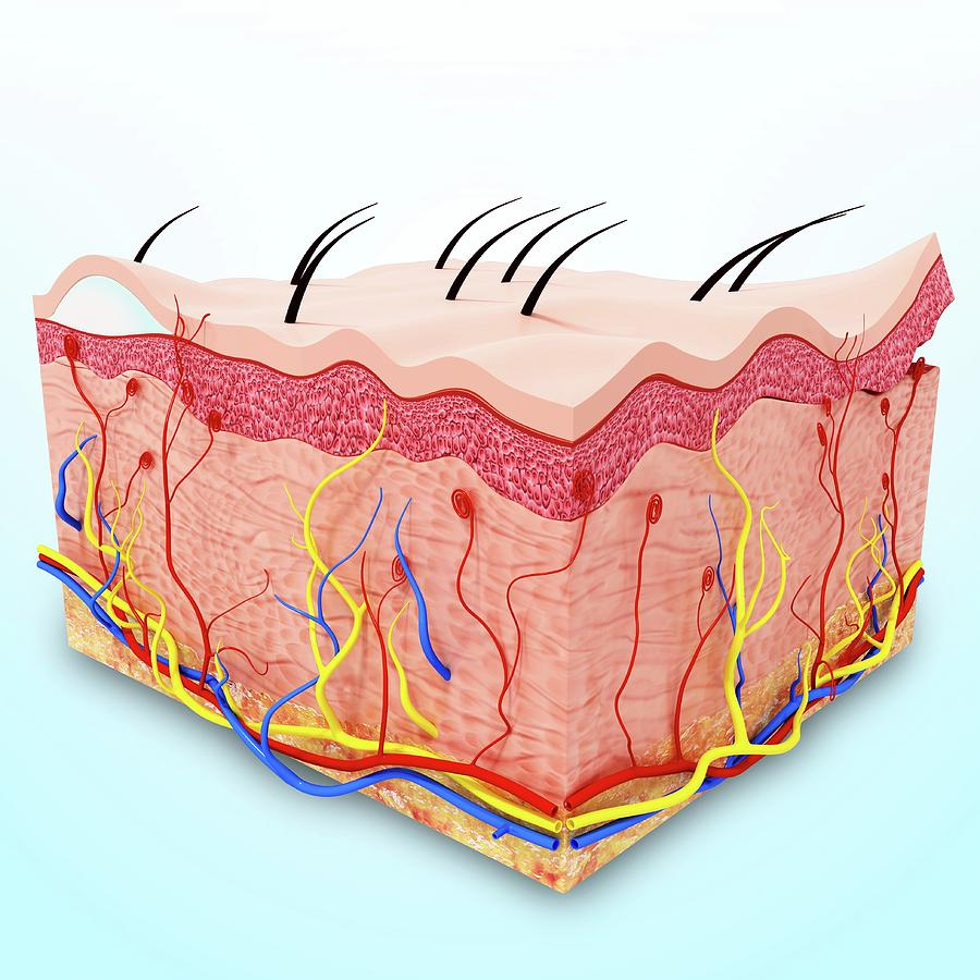 Human Skin Anatomy Photograph By Pixologicstudioscience Photo