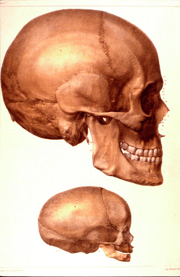 Cutout Photograph - Human Skulls Compared by Collection Abecasis/science Photo Library