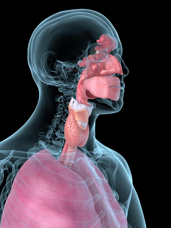 Artwork Photograph - Human Throat by Sciepro
