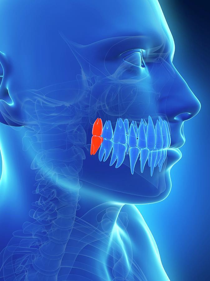 Artwork Photograph - Human Wisdom Teeth by Sebastian Kaulitzki
