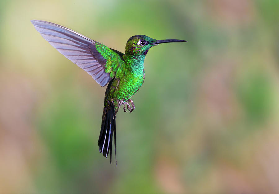 Hummingbird , Green-crowned Brilliant Photograph by Kencanning