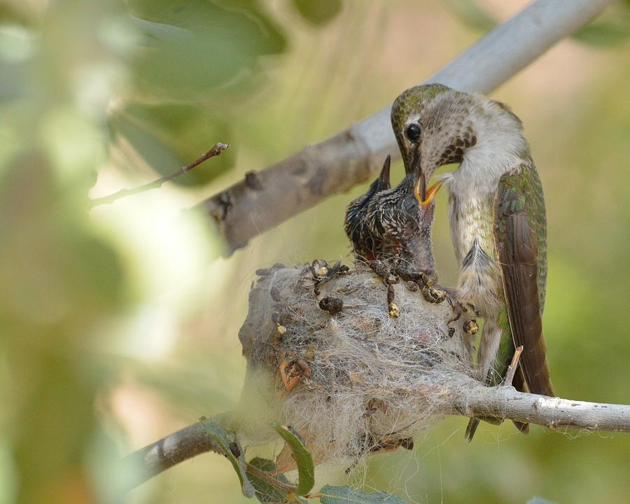 Birds Photograph - Hummingbird Babies by Old Pueblo Photography