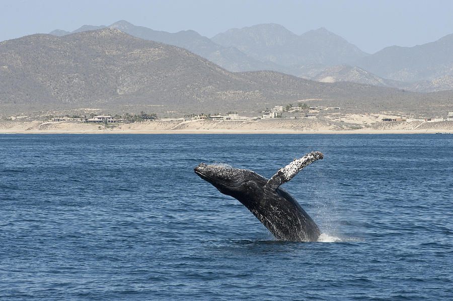Humpback Whale Breaching Baja Photograph by Flip Nicklin