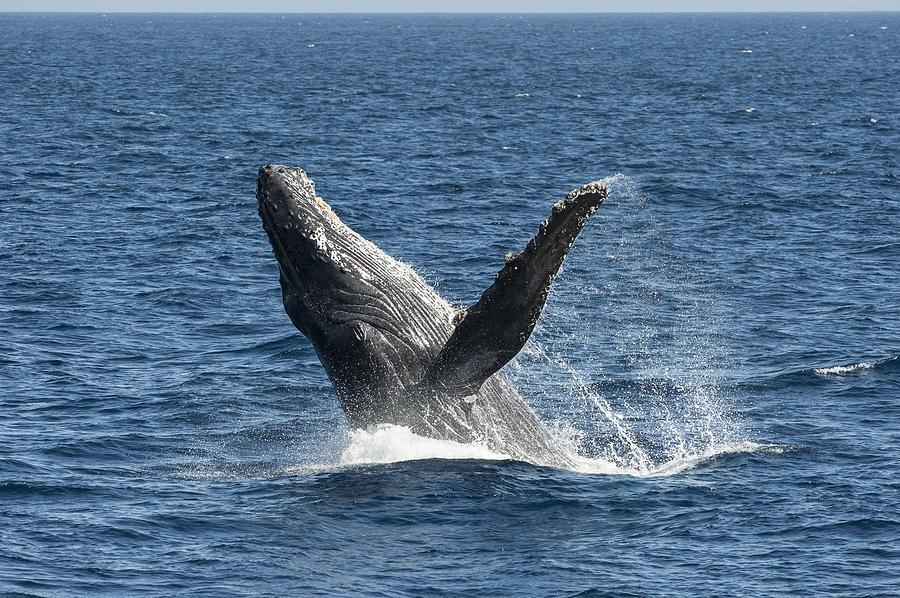 Humpback Whale Breaching Maui Photograph by Flip Nicklin