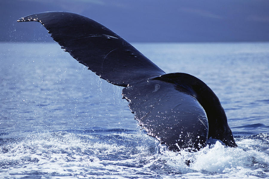 Humpback Whale Tail Lobs Maui Hawaii Photograph by Flip Nicklin