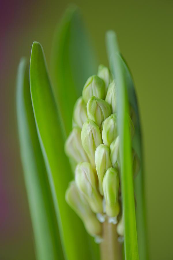 Flower Photograph - Hyacinth by Silke Magino