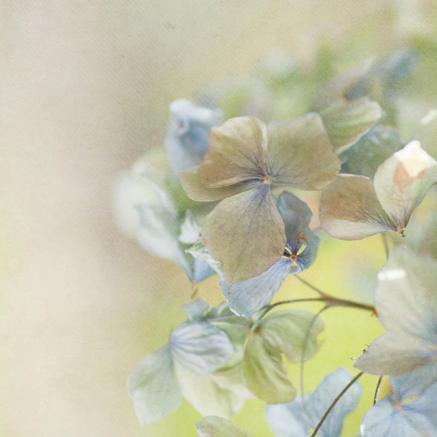 Hydrangea Photograph by Jill Ferry