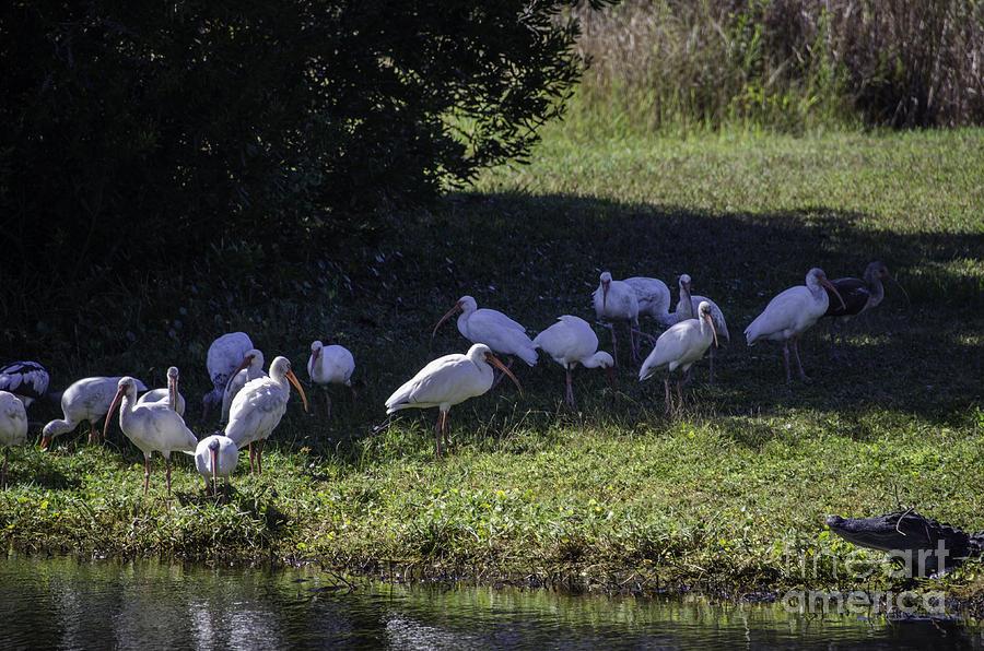 Ibis Birds Photograph