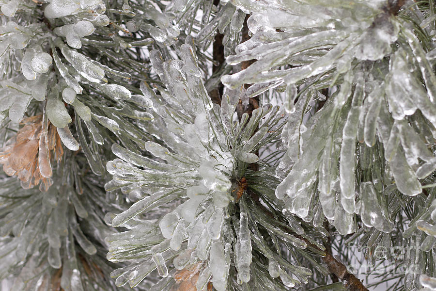 Ice Photograph - Ice On Pine Branches by Blink Images