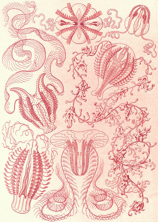 Illustration Drawing - Illustration Shows Comb Jellies. Ctenophorae by Artokoloro