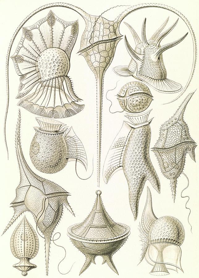 Illustration Drawing - Illustration Shows Microorganisms. Peridinea by Artokoloro