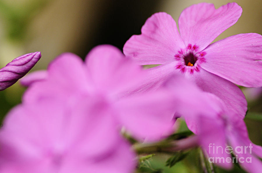 Nature Photograph - In The Pink by Larry Ricker