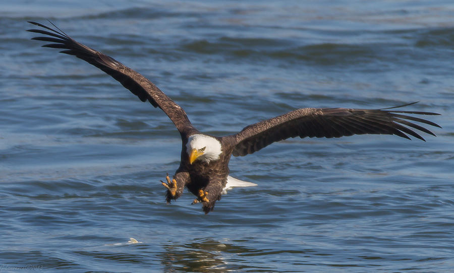 American Bald Eagles Photograph - Incoming  by Glenn Lawrence