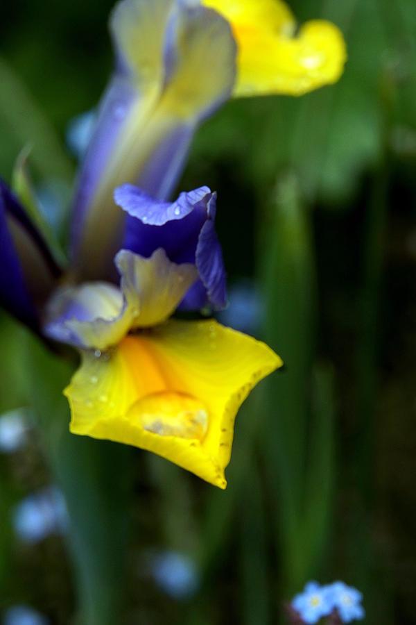 Floral Photograph - Iris by Nigel Watts