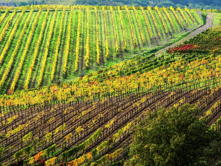 Abundance Photograph - Italy, Montepulciano, Autumn Vineyard by Terry Eggers