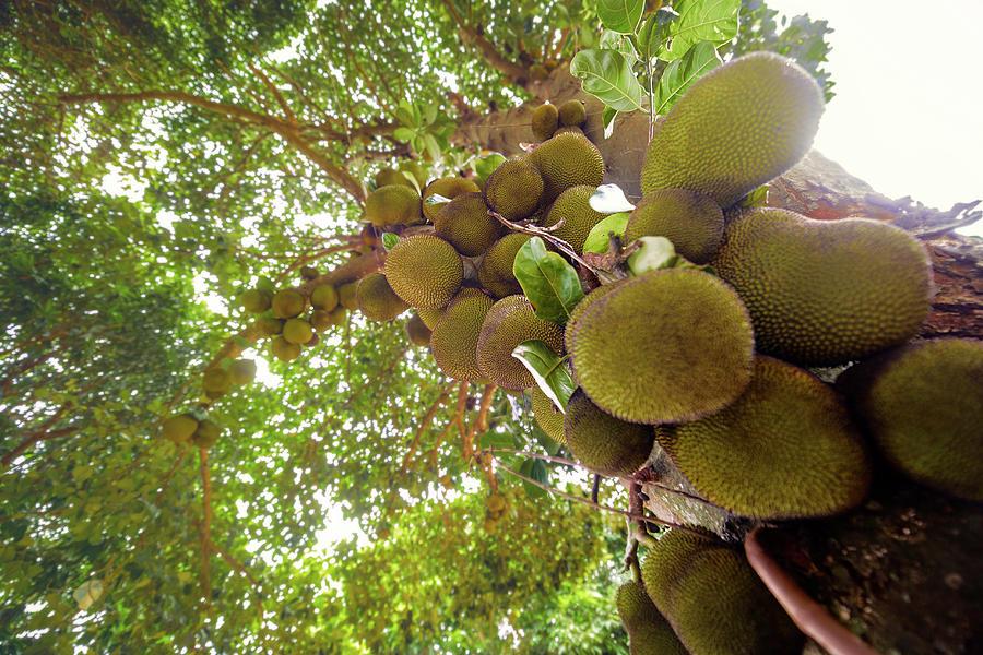 Kết quả hình ảnh cho jackfruit tree