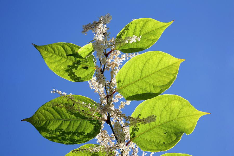 Japanese Knotweed Photograph - Japanese Knotweed by Alex Hyde