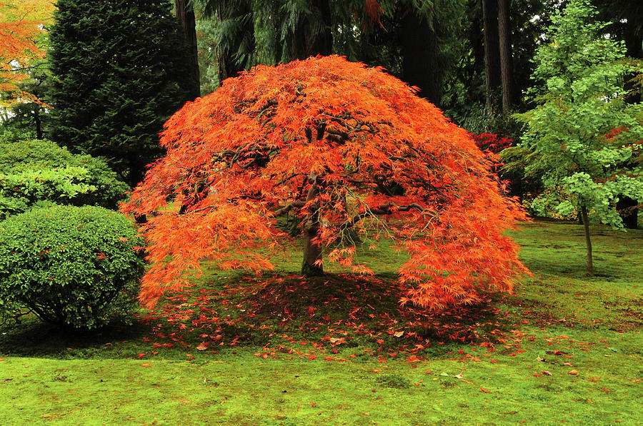 Japanese Maple In Full Fall Color Photograph By Michel Hersen