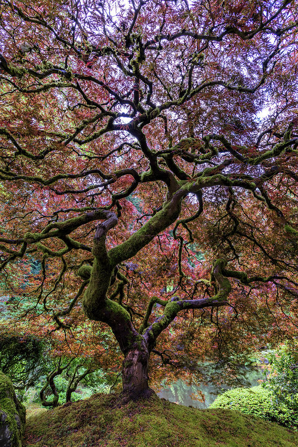 Maple Photograph - Japanese Maple Tree by Mike Centioli