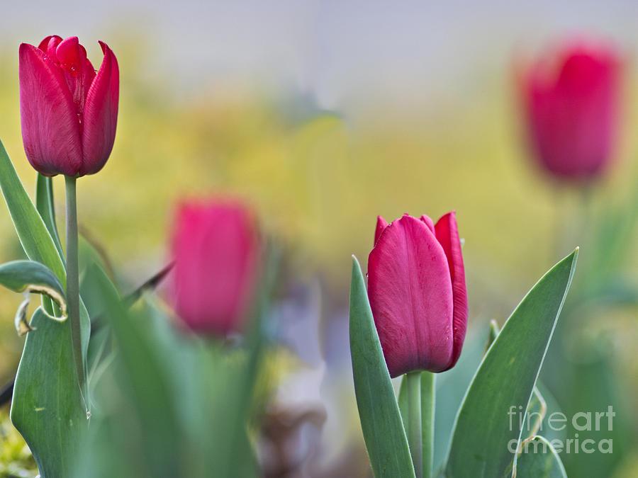 Jerusalem Tulip 2 Photograph By Joel Loftus