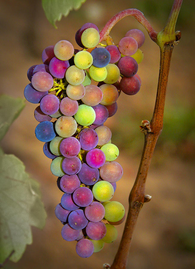 Grapes Photograph - Jewel Tones by Jean Noren