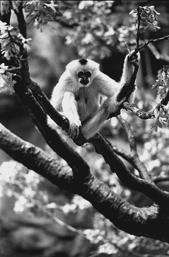 Monkey Photograph - Just Hanging Out by Retro Images Archive