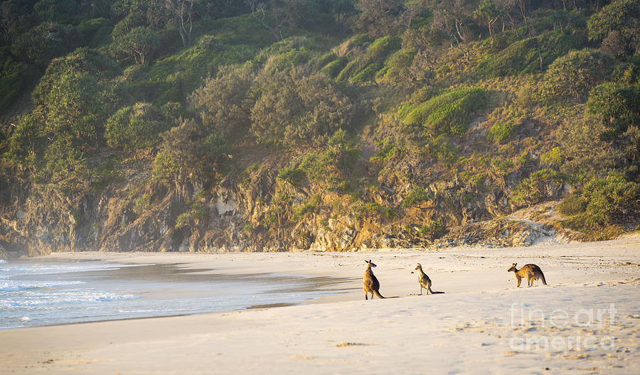 Kangaroo Photograph - Kangaroos On Beach At Dawn by Tim Hester