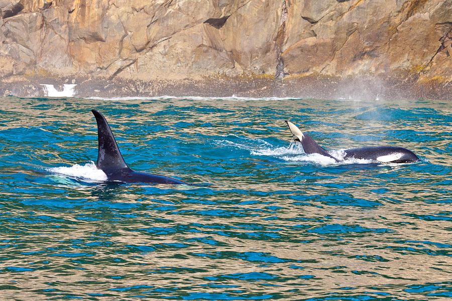 Killer Whale Photograph by Richard Jack-James