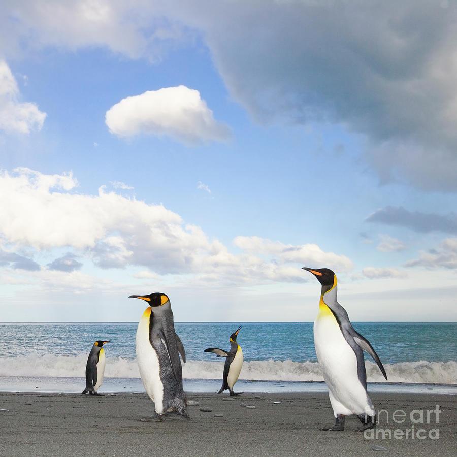 King Penguin at Gold Harbour  Photograph by Yva Momatiuk John Eastcott