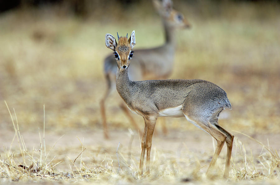 Dik-dik Photograph - Kirks Dik-dik by Dr P. Marazzi/science Photo Library