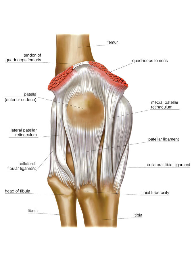Knee Joint Photograph By Asklepios Medical Atlas