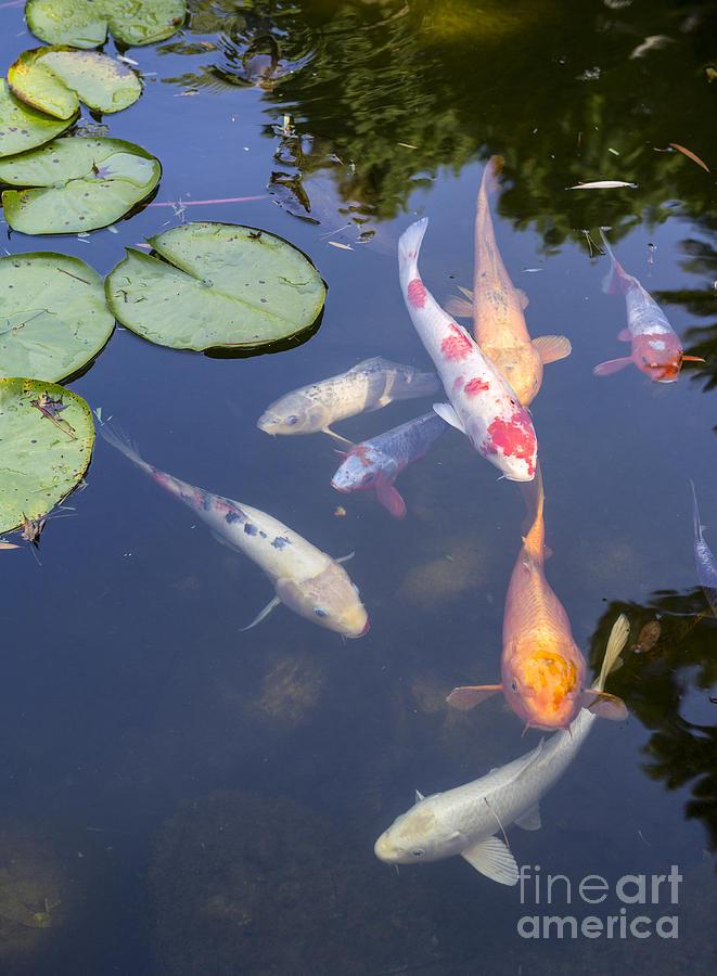 Koi and lily pads beautiful koi fish and lily pads in a for Beautiful koi fish