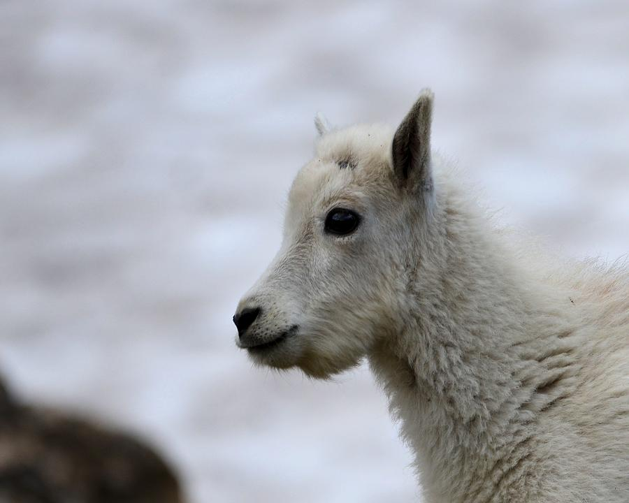 Glacier National Park Photograph - Baby Mountain Goat by Whispering Peaks Photography