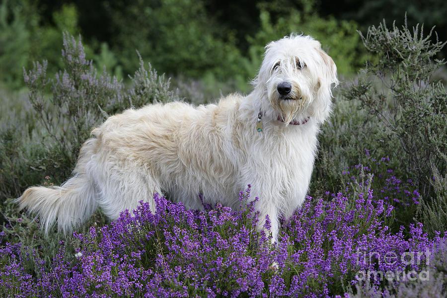 Dog Photograph - Labradoodle Dog by John Daniels