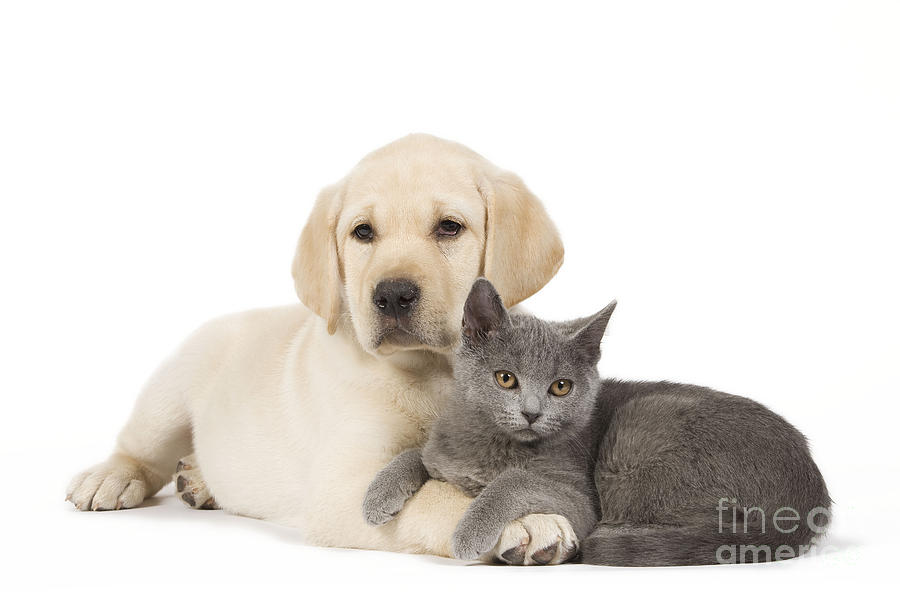 Labrador Retriever Photograph - Labrador Puppy With Chartreux Kitten by Jean-Michel Labat
