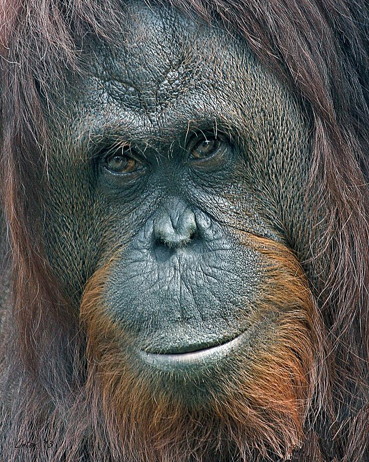 Orangutan Photograph - Lady Of The Forest 2 by Larry Linton