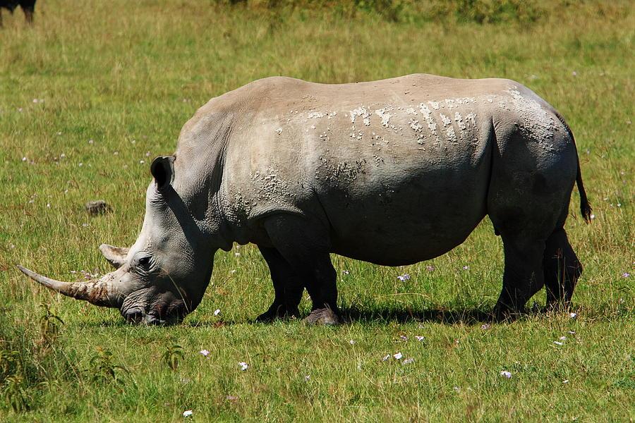 Rhinoceros Photograph - Lake Nakuru White Rhinoceros by Aidan Moran