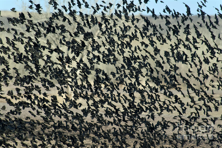 Nature Photograph - Large Flock Of Blackbirds And Cowbirds by Mark Newman